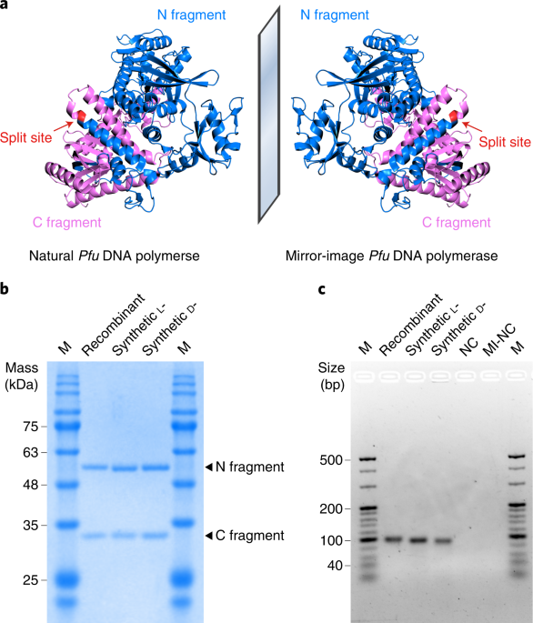 """Bioorthogonal information storage in <span class=""""small-caps"""">l</span>-DNA with a high-fidelity mirror-image <i>Pfu</i> DNA polymerase thumbnail"""