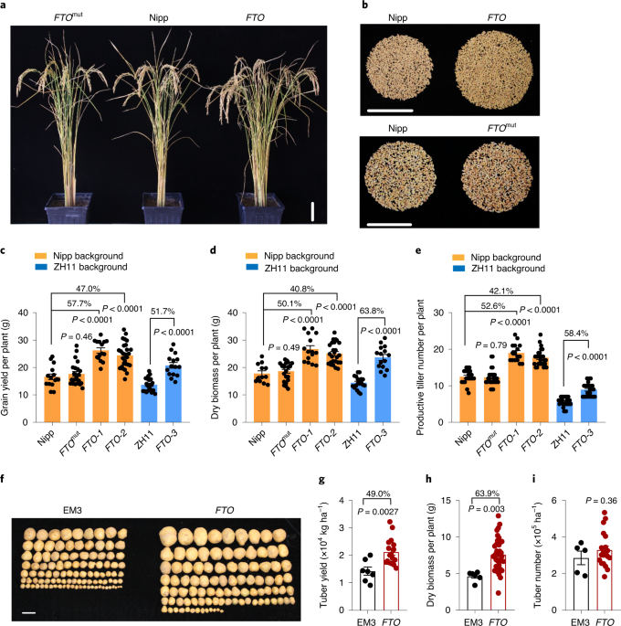 RNA N6-methyladenosine (m6A) modifications are essential in plants. Here, we show that transgenic expression of the human RNA demethylase FTO in rice