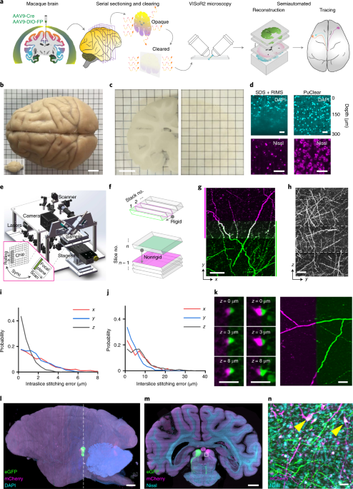 High-throughput mapping of a whole rhesus monkey brain at micrometer resolution thumbnail