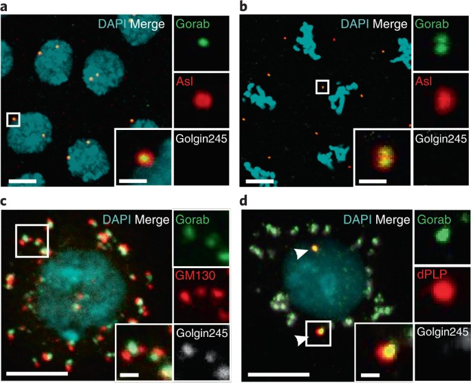 Gorab Is A Golgi Protein Required For Structure And Duplication Of Drosophila Centrioles Nature Genetics