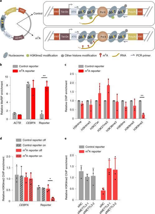 N6-Methyladenosine co-transcriptionally directs the demethylation of histone H3K9me2