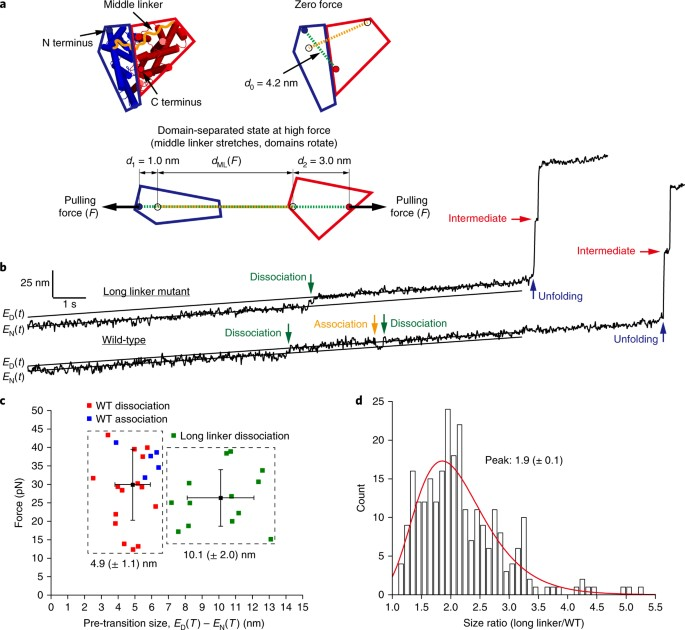 Unfolding of a ClC chloride transporter retains memory of its ...