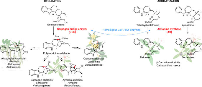 Sarpagan bridge enzyme has substrate-controlled cyclization