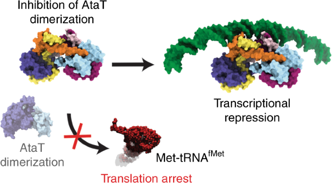 Mechanism Of Regulation And Neutralization Of The Atar Atat Toxin