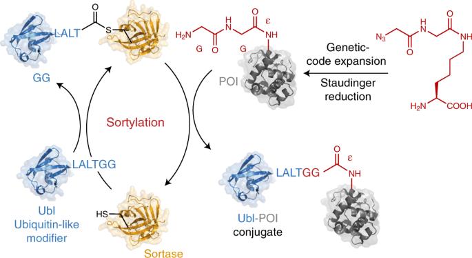 Site-specific ubiquitylation and SUMOylation using genetic