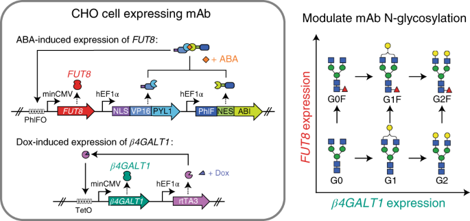 Small Molecule Control Of Antibody N Glycosylation In Engineered Mammalian Cells Nature Chemical Biology