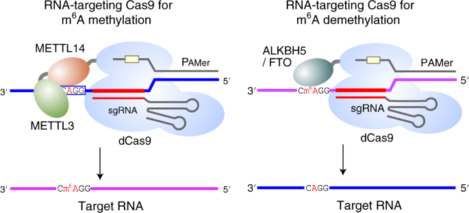 Programmable RNA N 6 -methyladenosine editing by CRISPR-Cas9
