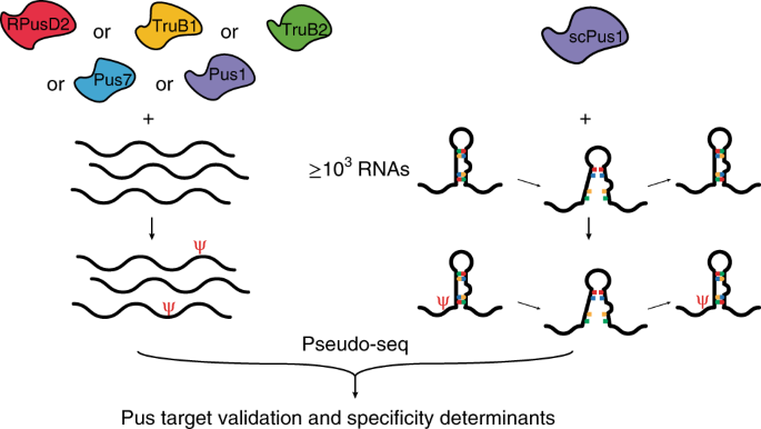 mRNA structure determines modification by pseudouridine