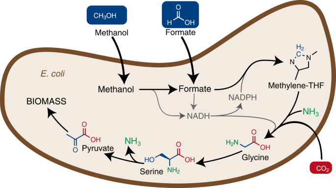Growth of E. coli on formate and methanol via the reductive glycine pathway