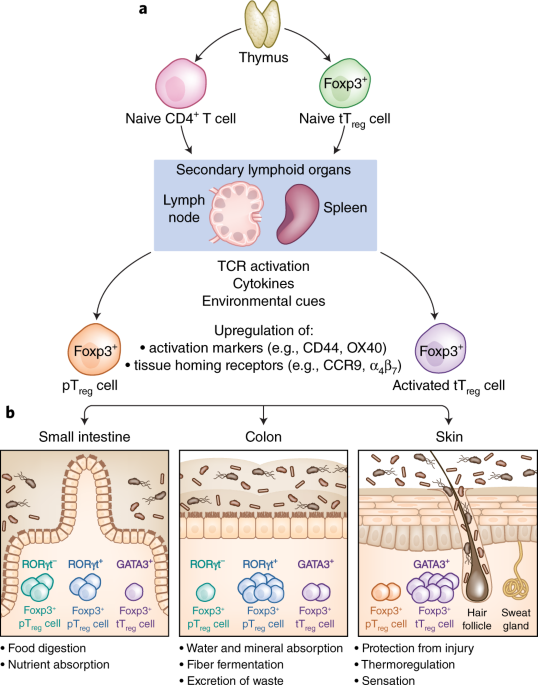 Regulatory T cell adaptation in the intestine and skin