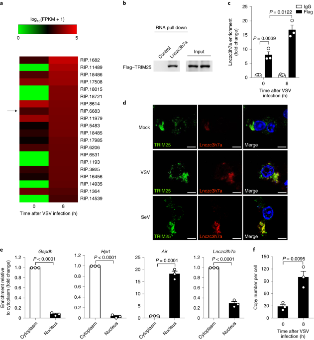 The long noncoding RNA Lnczc3h7a promotes a TRIM25-mediated RIG-I
