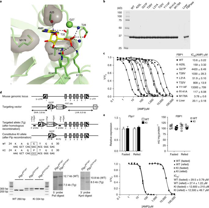 Metformin reduces liver glucose production by inhibition of fructose-1-6-bisphosphatase
