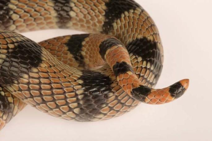 Snake venom–producing organoids