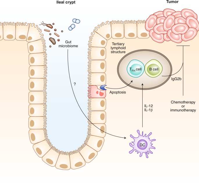 Local Cellular Cues That Influence The Immunology Of Colorectal Cancer Treatment Nature Medicine