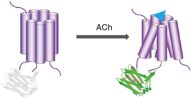 Detecting acetylcholine