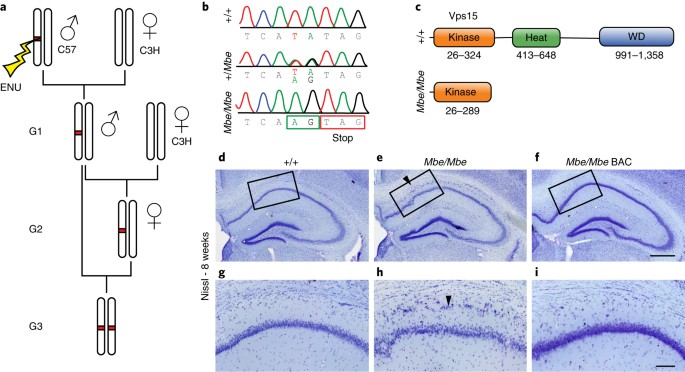 Mutations in Vps15 perturb neuronal migration in mice and