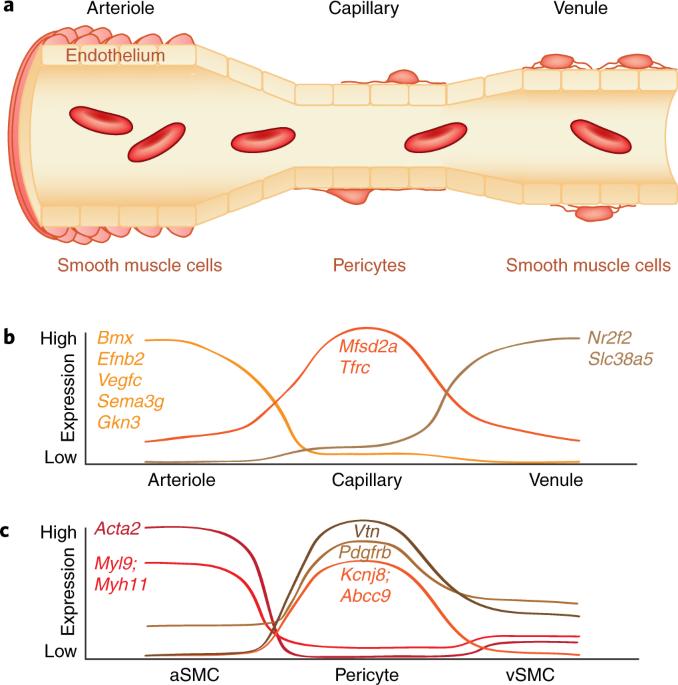 The role of brain vasculature in neurodegenerative disorders