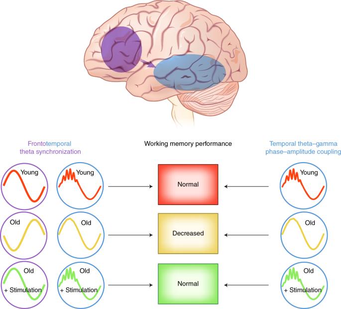 Neuroscientists Reverse Some Behavioral Symptoms Of >> Reversing Working Memory Decline In The Elderly Nature Neuroscience