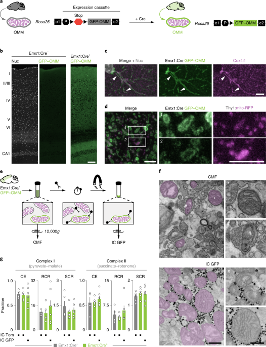 Cell-type-specific profiling of brain mitochondria reveals functional and molecular diversity