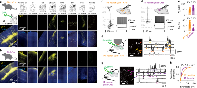 Active dendritic currents gate descending cortical outputs in perception