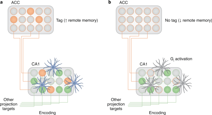 Starring role for astrocytes in memory