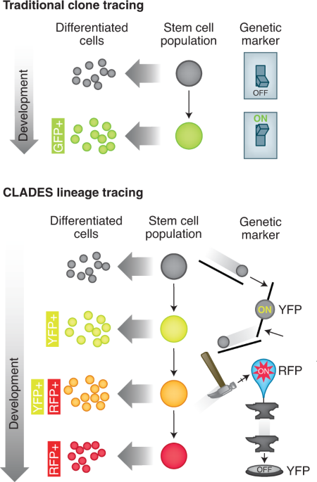 CRISPR Rube Goldberg machines for visualizing cell lineage