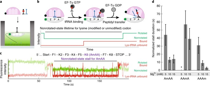 2′- O -methylation in mRNA disrupts tRNA decoding during
