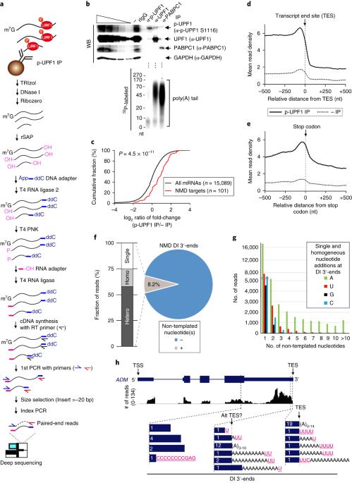 NMD-degradome sequencing reveals ribosome-bound
