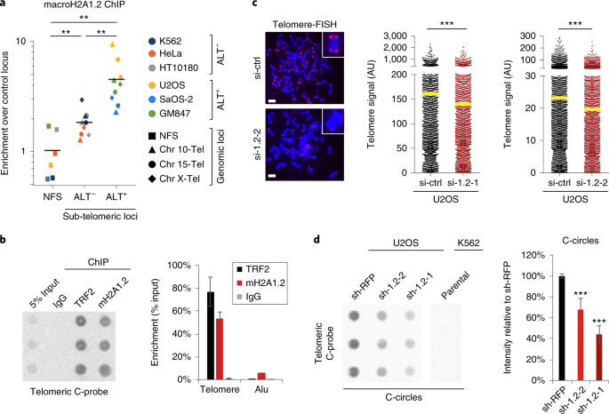 The macroH2A1.2 histone variant links ATRX loss to alternative telomere lengthening