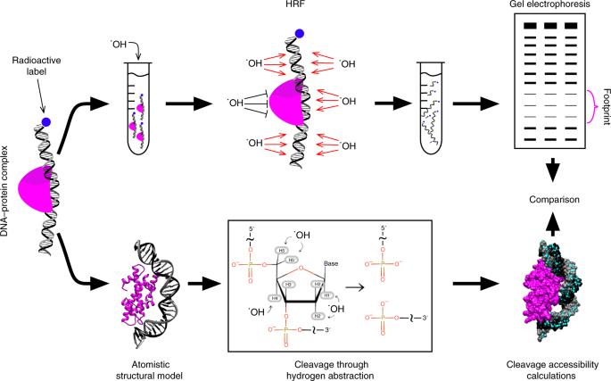 structural interpretation of dna protein hydroxyl radical