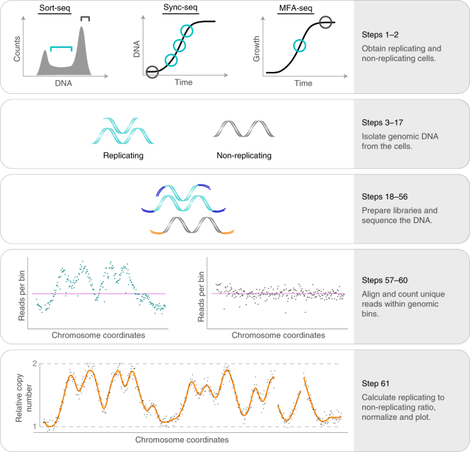 DNA copy-number measurement of genome replication dynamics by high-throughput sequencing: the sort-seq, sync-seq and MFA-seq family