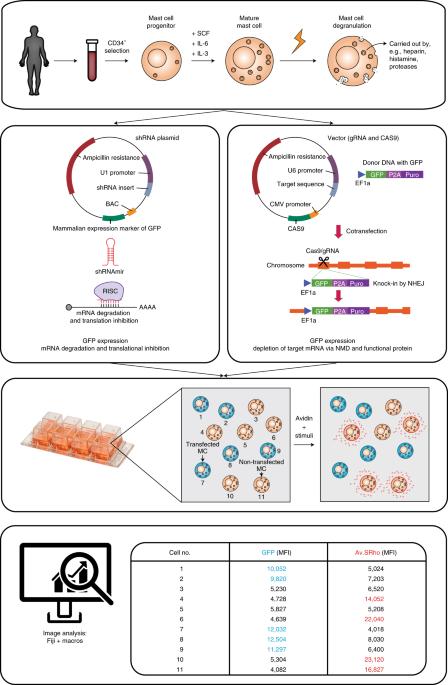 Rapid identification of human mast cell degranulation regulators using functional genomics coupled to high-resolution confocal microscopy