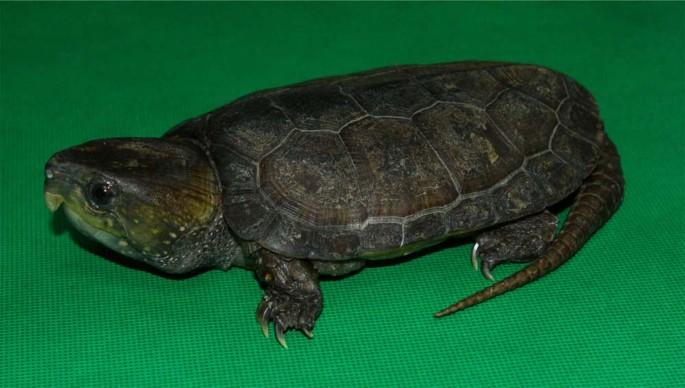 Draft Genome Of The Big Headed Turtle Platysternon Megacephalum Scientific Data