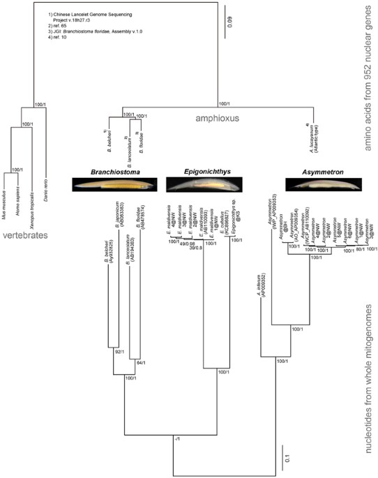 Evolutionary history of the extant amphioxus lineage with shallow ...