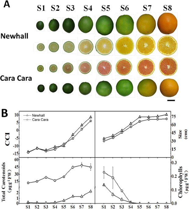 Cytological And Molecular Characterization Of Carotenoid