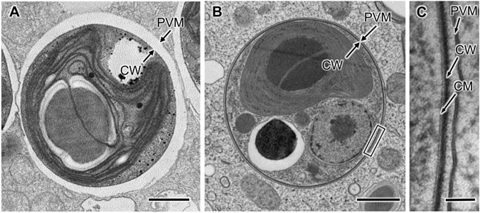 Intracellular Symbiosis Of Algae With Possible Involvement Of Mitochondrial Dynamics
