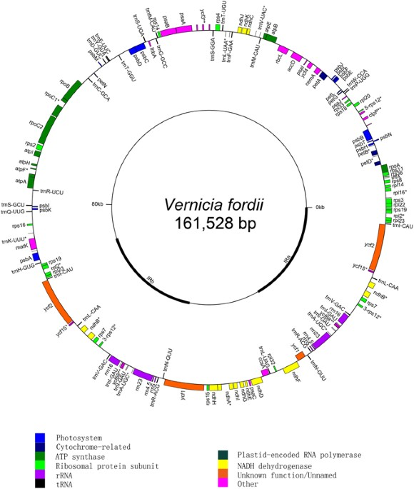 The complete chloroplast genome sequence of tung tree vernicia figure 1 ccuart Image collections