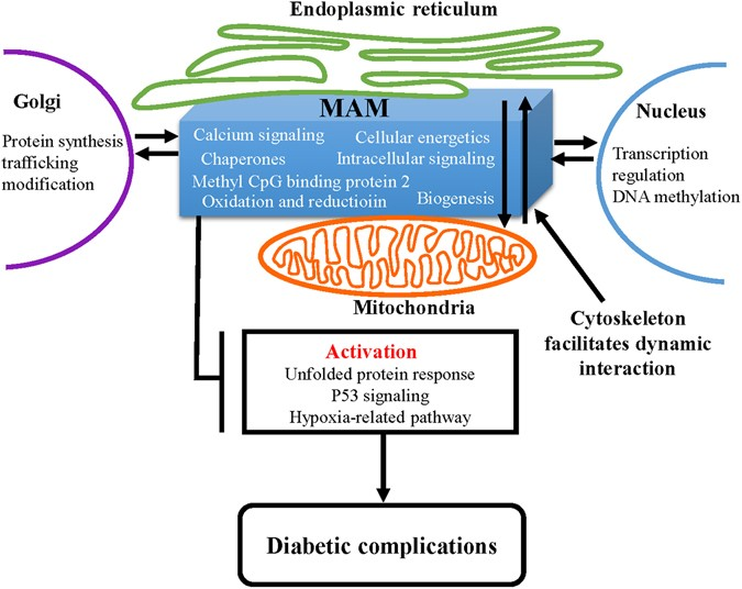 Comparative Proteomic Analysis Of The Mitochondria Associated Er