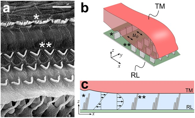 Hair Bundles Of Cochlear Outer Hair Cells Are Shaped To