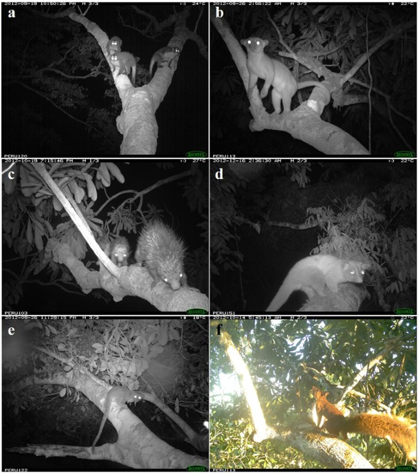 The six species that most frequently used the 13 natural canopy bridges over the pipeline clearing (a) Aotus nigriceps (b) Potos flavus ... & Natural canopy bridges effectively mitigate tropical forest ...