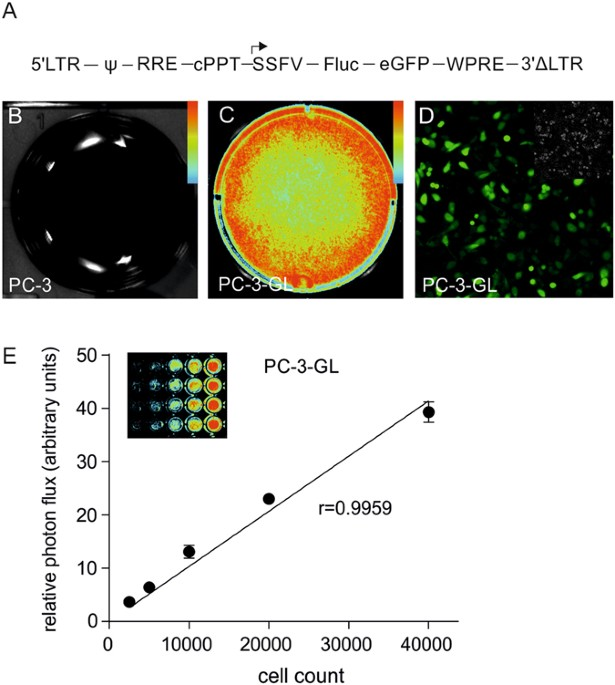 Non-invasive imaging of engineered human tumors in the living ...