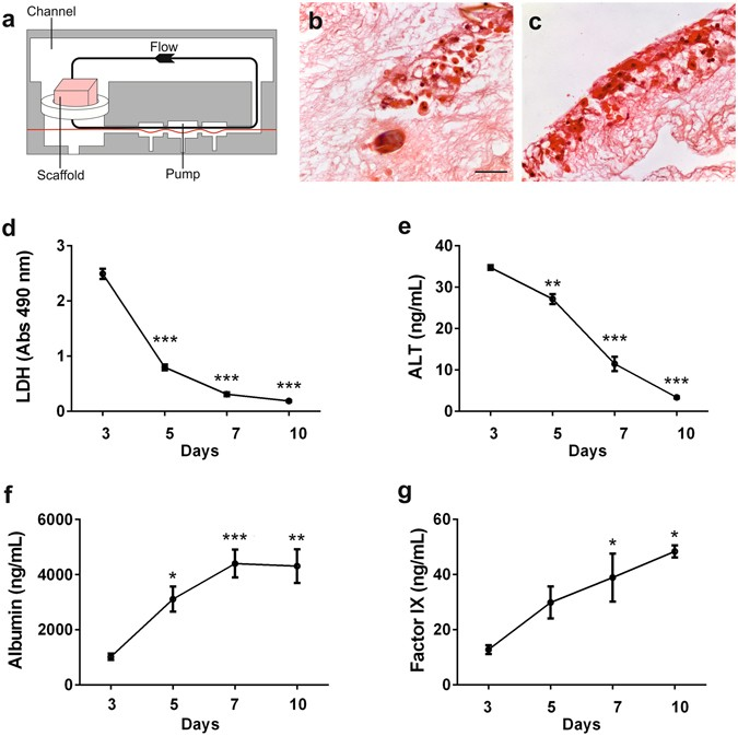 Rapid production of human liver scaffolds for functional tissue ...