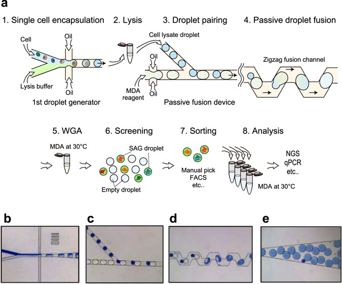 Massively Parallel Whole Genome Amplification For Single