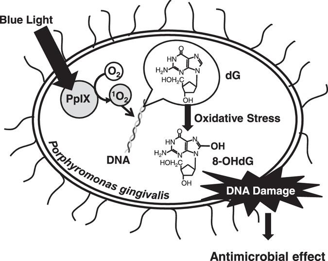 Antimicrobial Effect Of Blue Light Using Porphyromonas Gingivalis