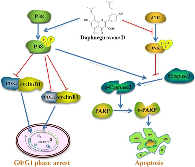 a new prenylated flavonoid i nduces g0 g1 arrest and apoptosis