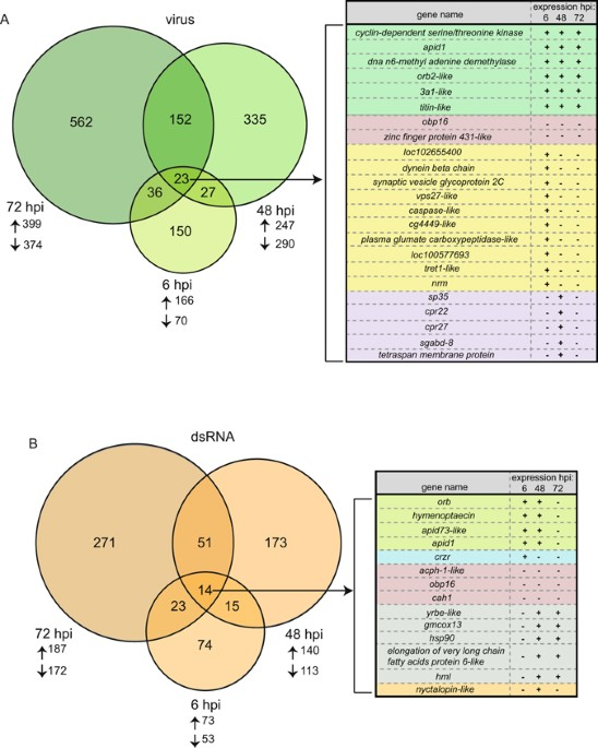 Virus and dsrna triggered transcriptional responses reveal key a there were hundreds of differentially expressed genes degs in virus infected bees as compared to mock infected bees venn diagram analysis identified ccuart Image collections