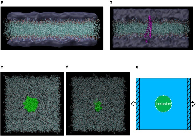 ... biomechanical characteristics subjected to uniaxial membrane stretches  in the MD simulations. The representative flexible cellular membrane  complexes ... 40ae51ebb