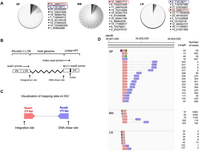 Dynamics And Mechanisms Of Clonal Expansion Of Hiv 1 Infected Cells