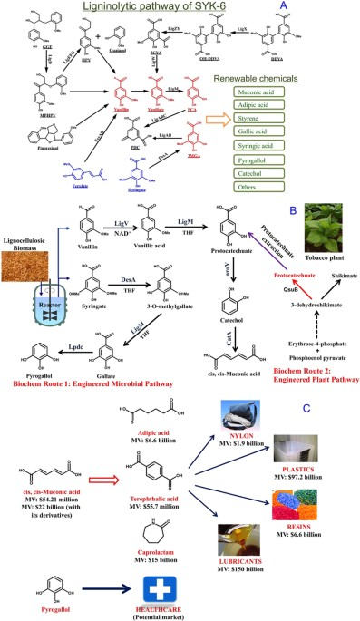 Lignin Valorization Two Hybrid Biochemical Routes For The