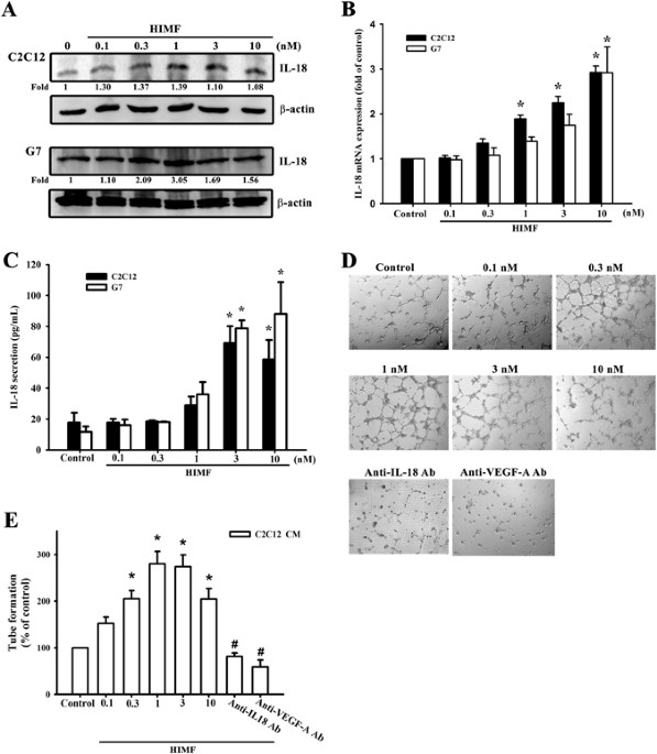Hypoxia Induced Mitogenic Factor Himf Triggers Angiogenesis By